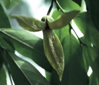 enanthia chlorantha